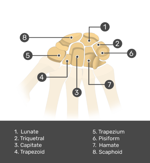 An image of the carpal bones with labels of (Scaphoid, Lunate, Triquetral, Pisiform, Trapezium, Trapezoid, Capitate & Hamate) bones.