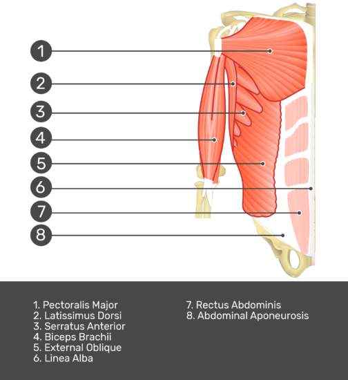 Test yourself on transversus abdominis muscle with answers shown:Pectoralis major, latissimis dorsi, serratus anterior, biceps brachii, external oblique, linea alba, rectus abdominis, abdominal aponeurosis