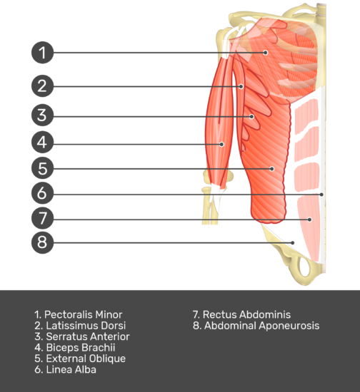 Test yourself on transversus abdominis muscle with answers shown:Pectoralis minor, latissimis dorsi, serratus anterior, biceps brachii, external oblique, linea alba, rectus abdominis, abdominal aponeurosis