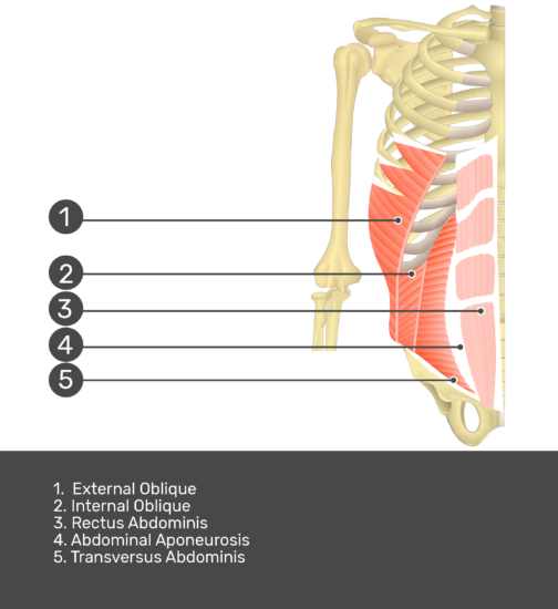 Test yourself on rectus abdominis muscle with answers shown: external oblique, internal oblique, rectus abdominis, abdominal aponeurosis, transversus abdominis