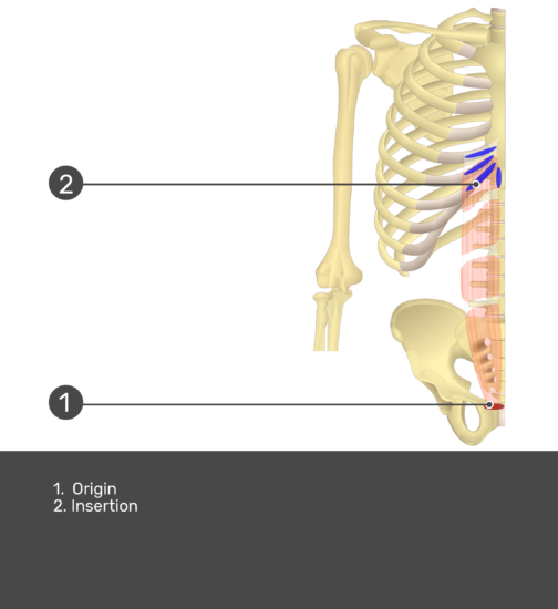 rectus abdominis muscle with labels: Insertion and Origin