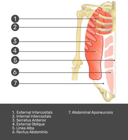 Test yourself on rectus abdominis muscle with answers shown:Pectoralis minor, latissimis dorsi, serratus anterior, biceps brachii, external oblique, linea alba, rectus abdominis, abdominal aponeurosis