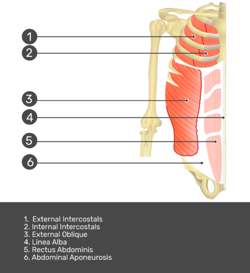 Test yourself on rectus abdominis muscle with answers shown: :External intercostals, internal intercostals, serratus anterior, external oblique, linea alba, rectus abdominis, abdominal aponeurosis
