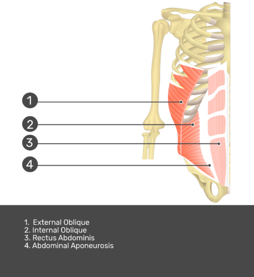 Test yourself on rectus abdominis muscle with answers shown: external oblique, internal oblique, rectus abdominis, abdominal aponeurosis