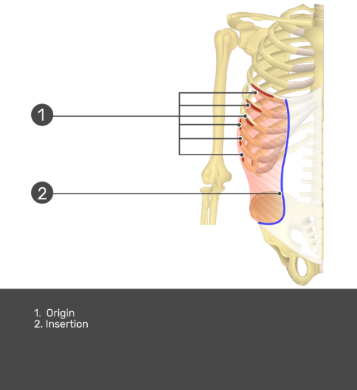 External Oblique with labels: Insertion and Origin