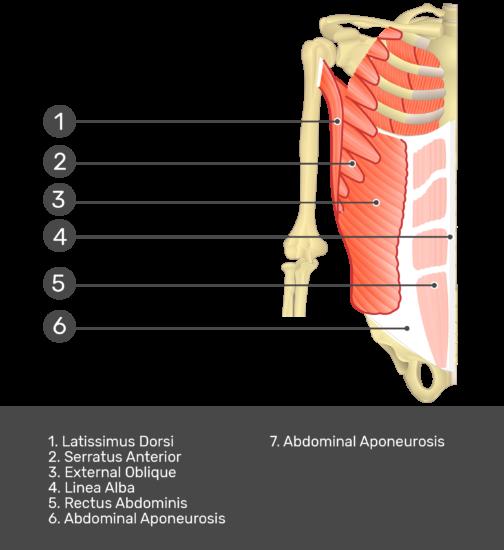 Internal Oblique Muscle