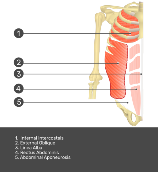 Test yourself on internal oblique muscle with answers shown: Internal intercostals, external oblique, linea alba, rectus abdominis, abdominal aponeurosis