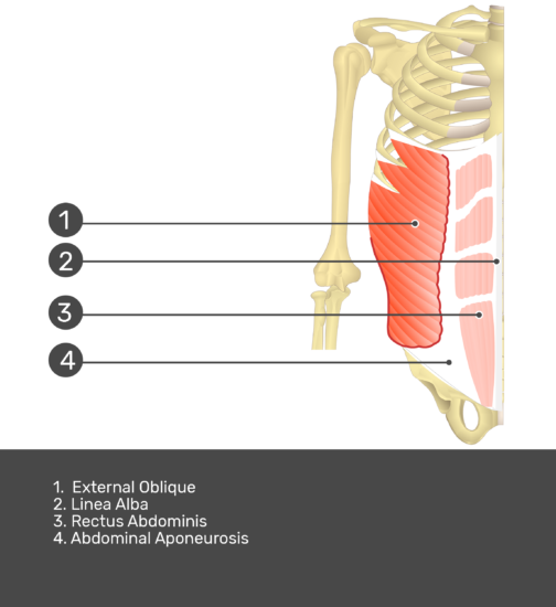 Test yourself on external oblique muscle with answers shown: external oblique, linea alba, rectus abdominis, abdominal aponeurosis