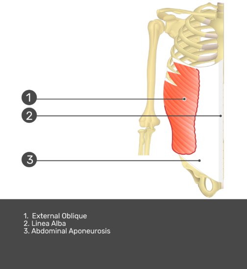 Test yourself on external oblique muscle with answers shown: external oblique, linea alba, abdominal aponeurosis