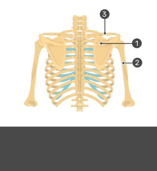 Test yourself on scapula with hidden answers