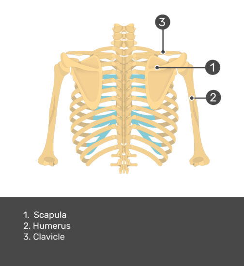 Test yourself on scapula with answers