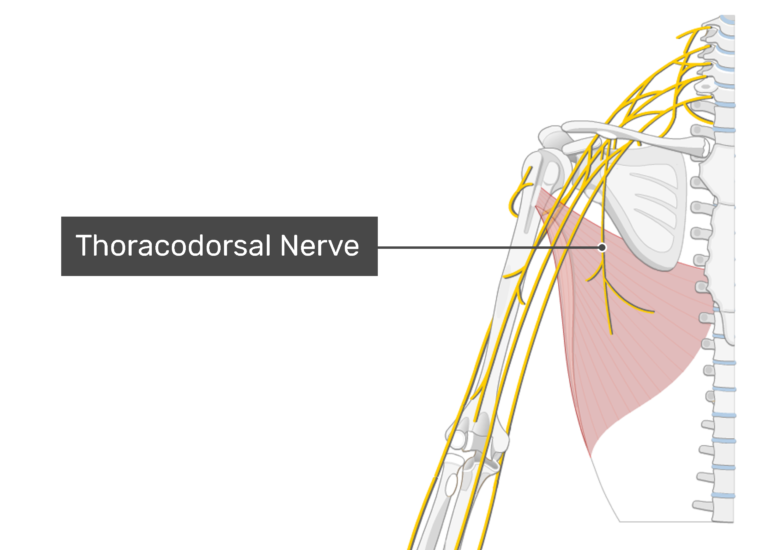 The Thoracodorsal Nerve innervating the latissimus dorsi muscle.