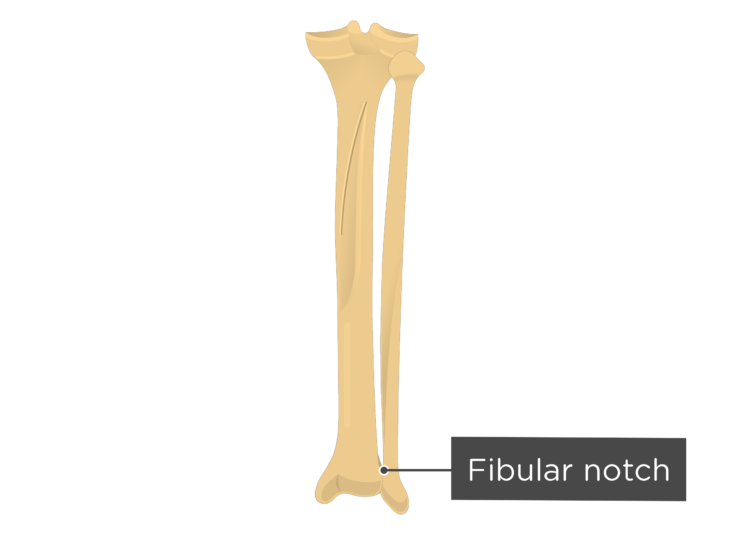 Tibia and fibula - fibular notch - posterior view