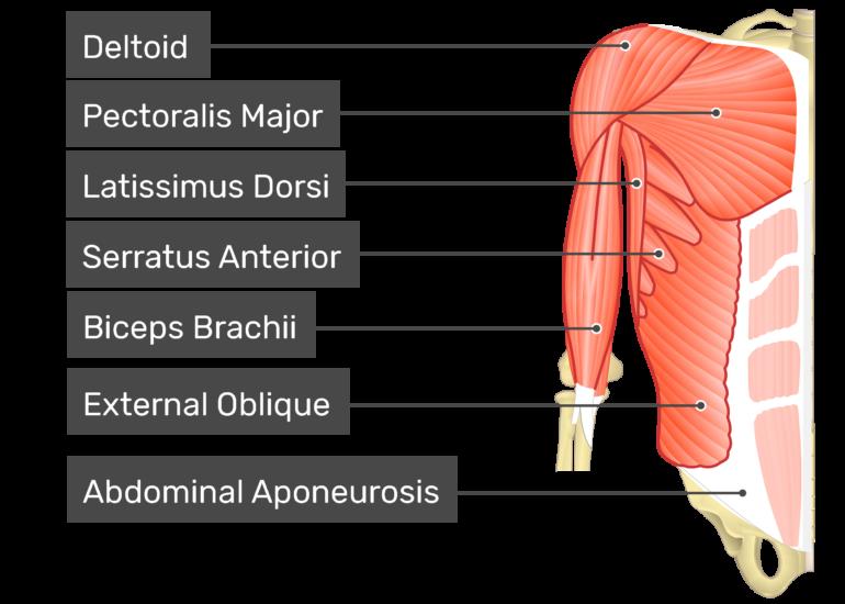Transversus abdominis muscle with labels: Deltoid, latissimus dorsi, external oblique, biceps brachii, abdominal aponeurosis, pectoralis major, serratus anterior