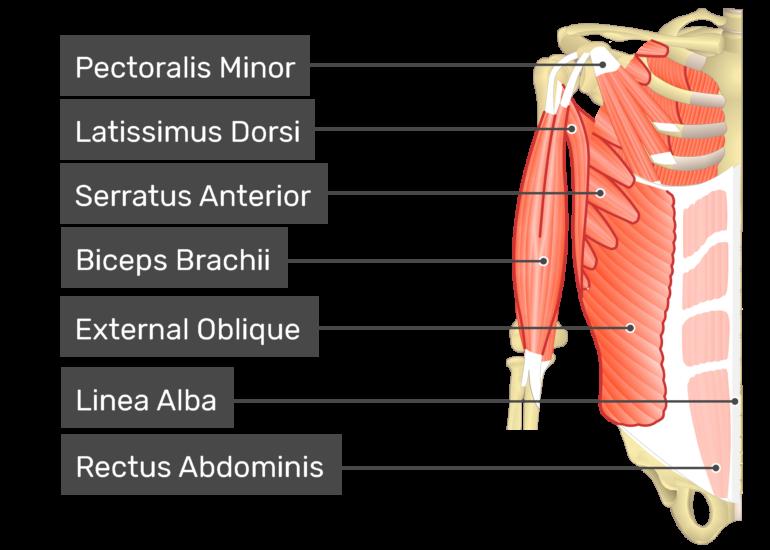 Transversus abdominis muscle with labels: Pectoralis minor, latissimus dorsi, external oblique, biceps brachii, abdominal aponeurosis, , serratus anterior, Linea alba