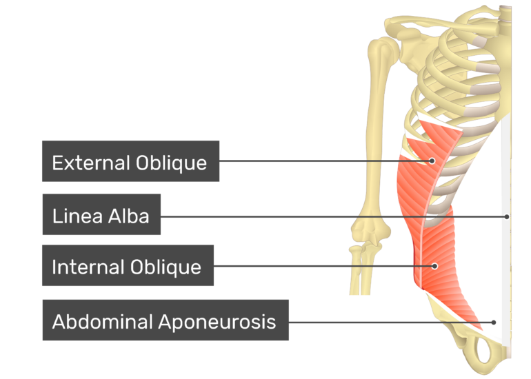 Transversus abdominis muscle with labels: external oblique, linea alba, internal oblique, abdominal aponeurosis