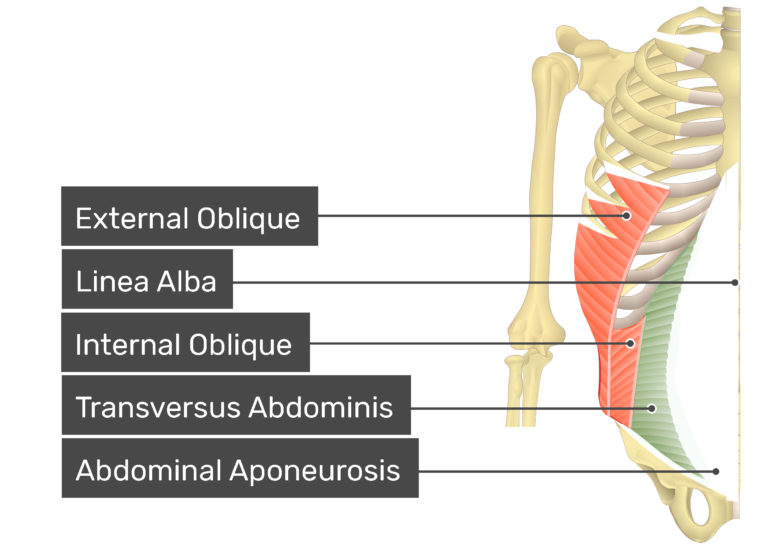 Transversus abdominis muscle with labels: external oblique, linea alba, internal oblique, transversus abdominis, abdominal aponeurosis