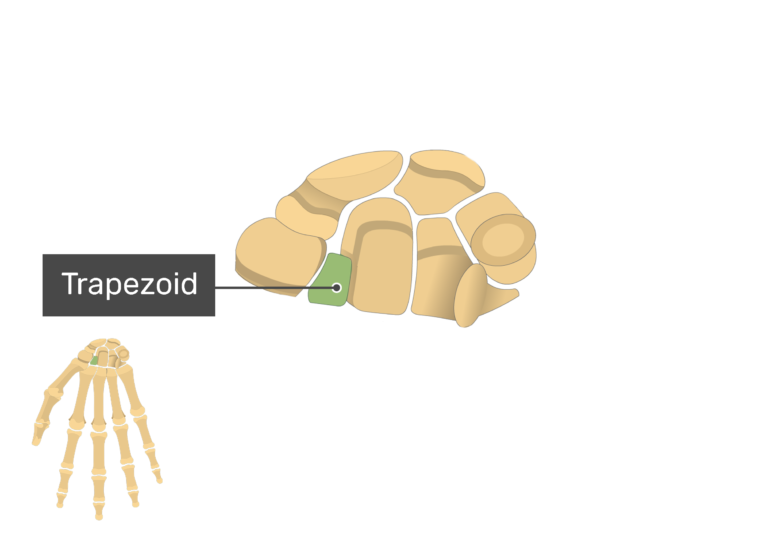 Anterior Hand and Wrist with the carpal bones being magnified and the trapezoid bone being highlighted