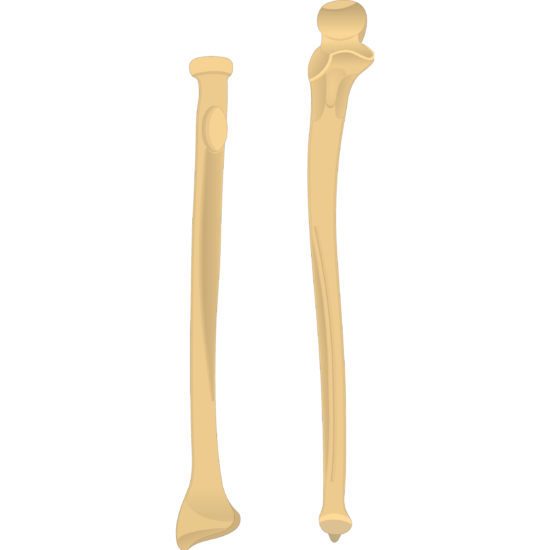 Ulnar notch - Radius and Ulna Bones