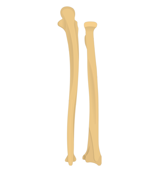 Ulnar notch - Radius and Ulna Bones - Posterior View