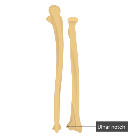 Ulnar notch - Radius and Ulna Bones - Posterior View - Labeled