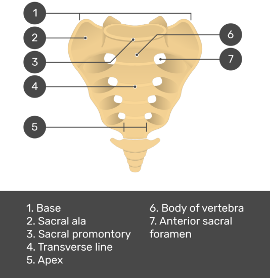 Test yourself image for the anterior view of the sacrum showing answers: Body, sacral ala, sacral promontory, transverse line, apex, body of vertebra, and anterior sacral foramen
