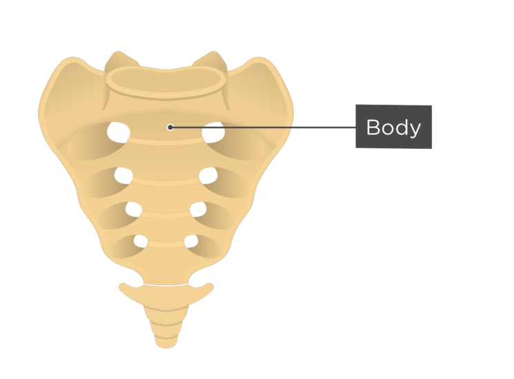 Anterior view of the body of the first sacral vertebra