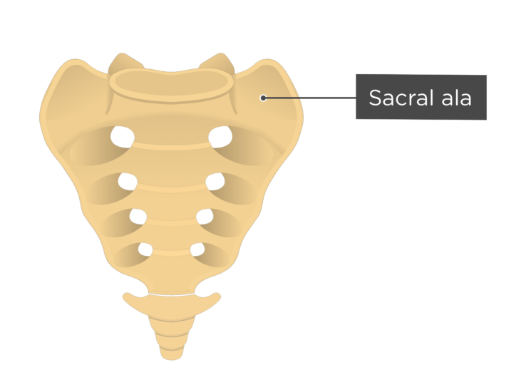 Anterior view of the sacral ala