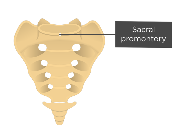 Anterior view of the sacral promontory of the sacrum