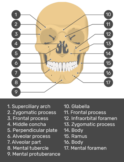 anterior skull bone markings - test yourself - answers