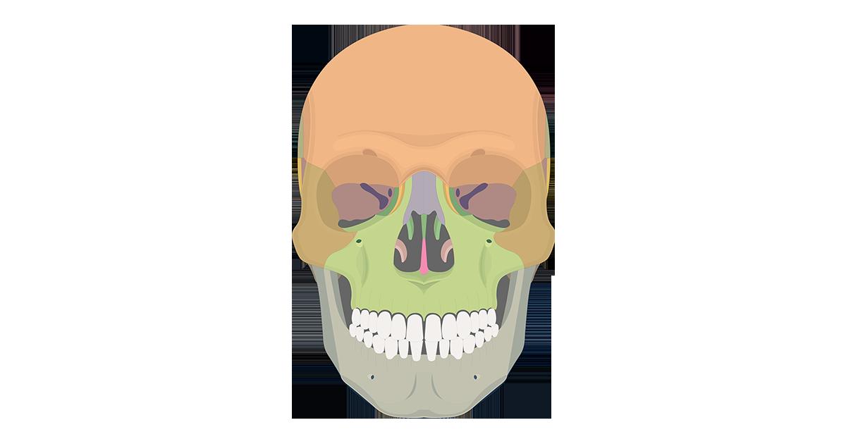 The Skull Bones - Anterior View