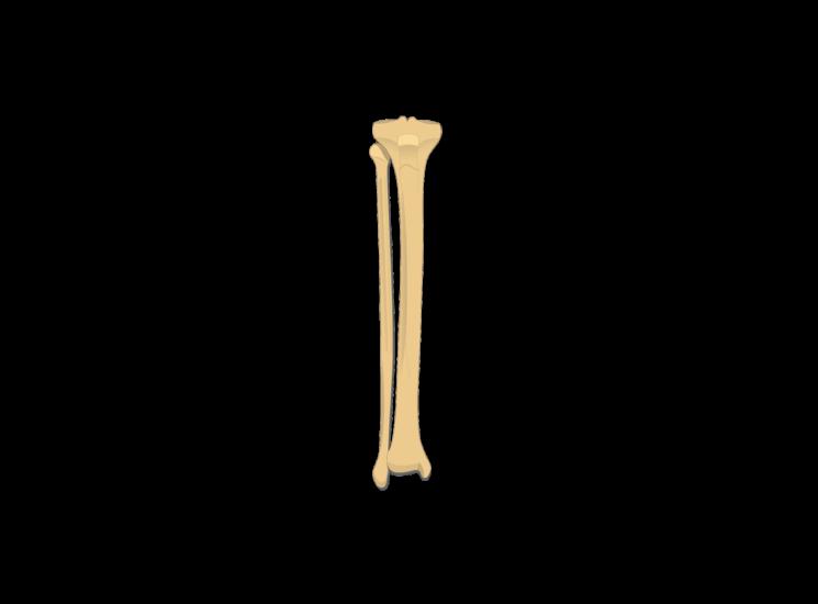 anterior tibia fibula