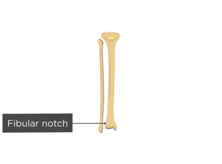 anterior tibia fibula - fibular notch 3