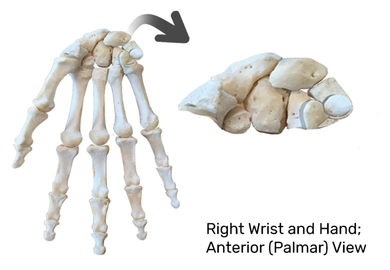 Anterior Hand and Wrist with the carpal bones being magnified