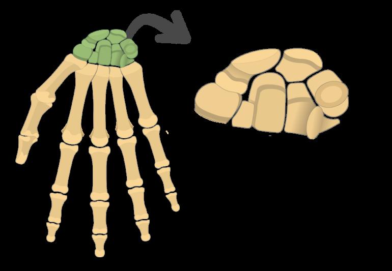 Anterior Hand and Wrist