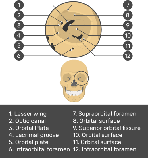 Test yourself image showing answers: lesser wing, optic canal, orbital plate, lacrimal groove, orbital plate, infraorbital foramen, supraorbital foramen, orbital surface, superior orbital fissure, orbital surface, infraorbital foramen