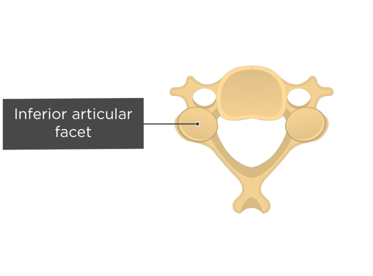 Labelled image of the inferior articular facet of a cervical vertebra