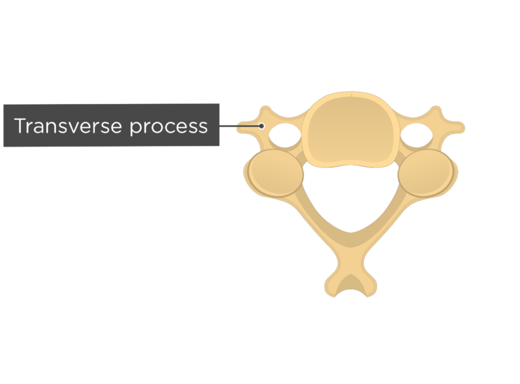 Labelled image of the transverse process of a cervical vertebra