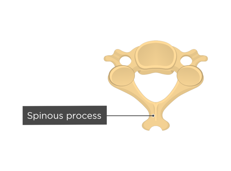 Labelled image of the spinous process of a cervical vertebra