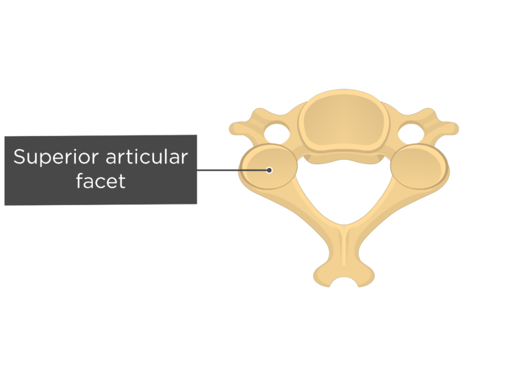 Labelled image of the superior articular facet of a cervical vertebra