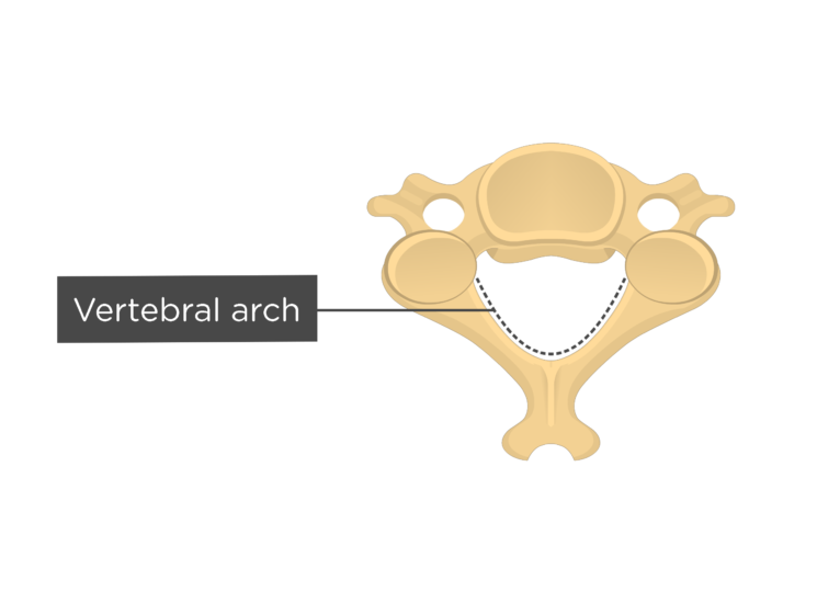 Labelled image of the vertebral arch of a cervical vertebra