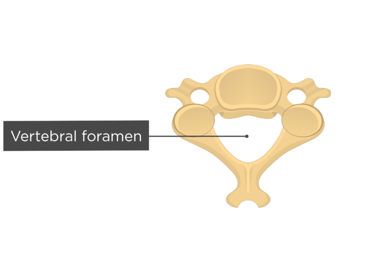 Labelled image of the vertebral foramen of a cervical vertebra