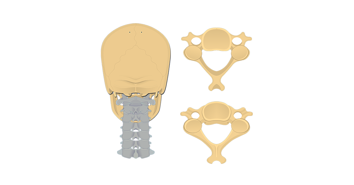 Featured image of the inferior and superior view of a cervical vertebra.