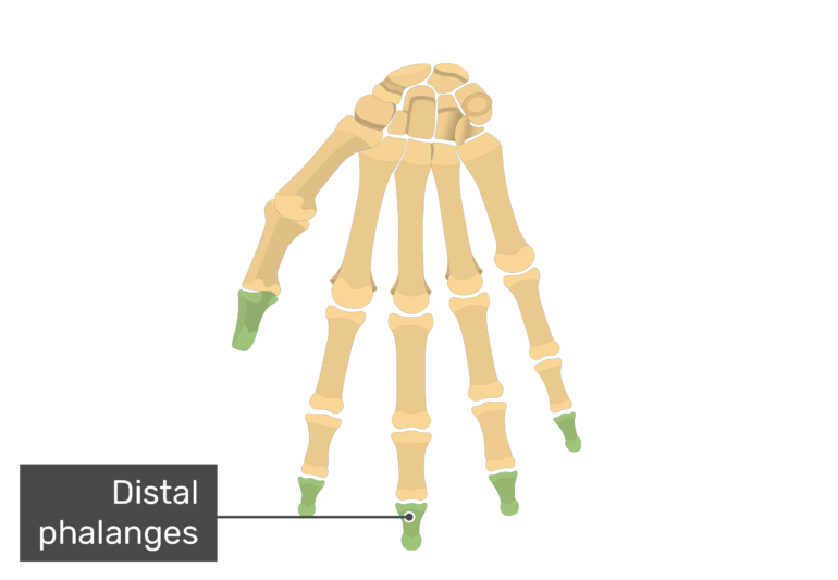 Anterior hand with the distal bones being highlighted