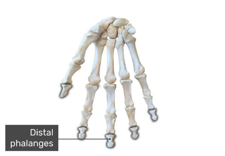 Bone anterior hand with the distal bones being highlighted