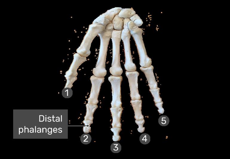 distal phalanges bones