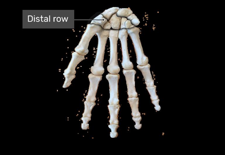 Distal row bone
