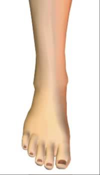 Foot dorsiflexion (1) By Extensor Digitorum Longus Muscle