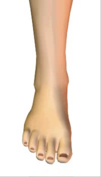 Foot dorsiflexion (3) By Extensor Digitorum Longus Muscle