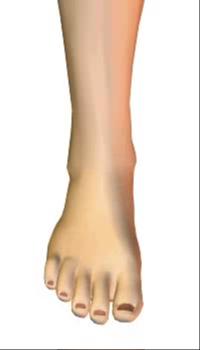 Foot dorsiflexion (3) By Extensor Digitorum Longus Muscle